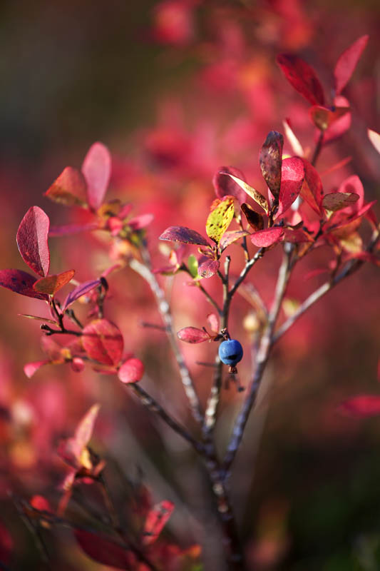A single surviving blueberry on an autumn colored low bush